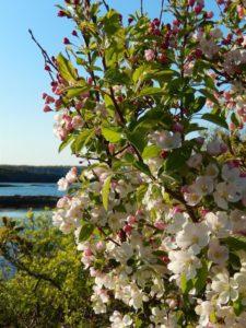 Finalist_Apple Blossoms_June Eiesland