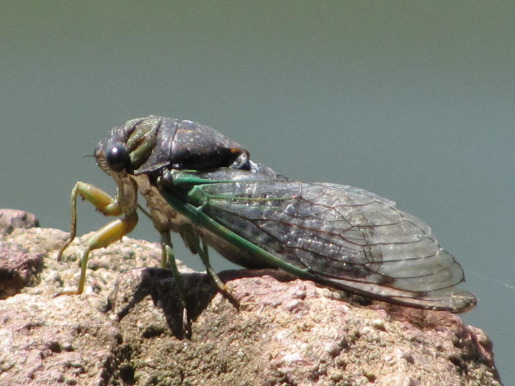 This image has an empty alt attribute; its file name is Cicada-by-geopungo-CC-BY-2.0-1024x768.jpg