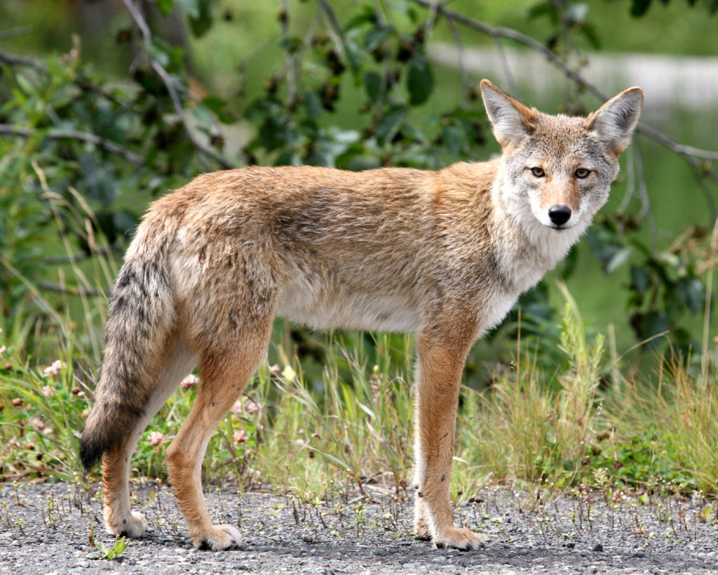 This image has an empty alt attribute; its file name is Coyote-by-Jitze-Couperus-CC-BY-2.0-1024x819.jpg